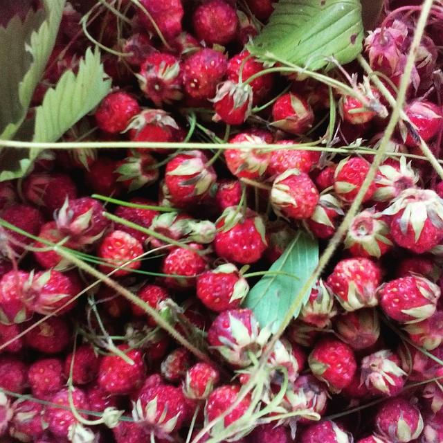На одной земляничной полянке можно и всласть наесться, и собрать ягод на зиму.