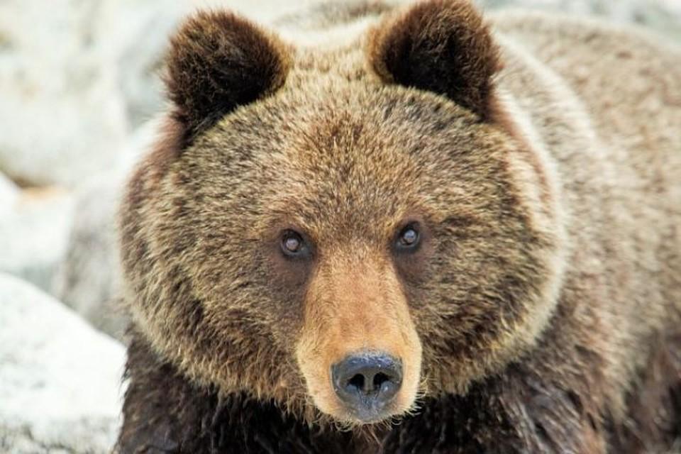 Медведь загрыз двух сторожевых собак в поселке Маркова под Иркутском