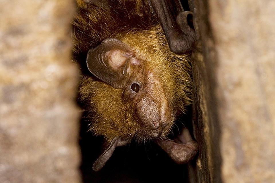 Даже если вам кажется, что все летучие мыши внешне одинаковы, то для профессионального зоолога-систематика они отличаются очень сильно