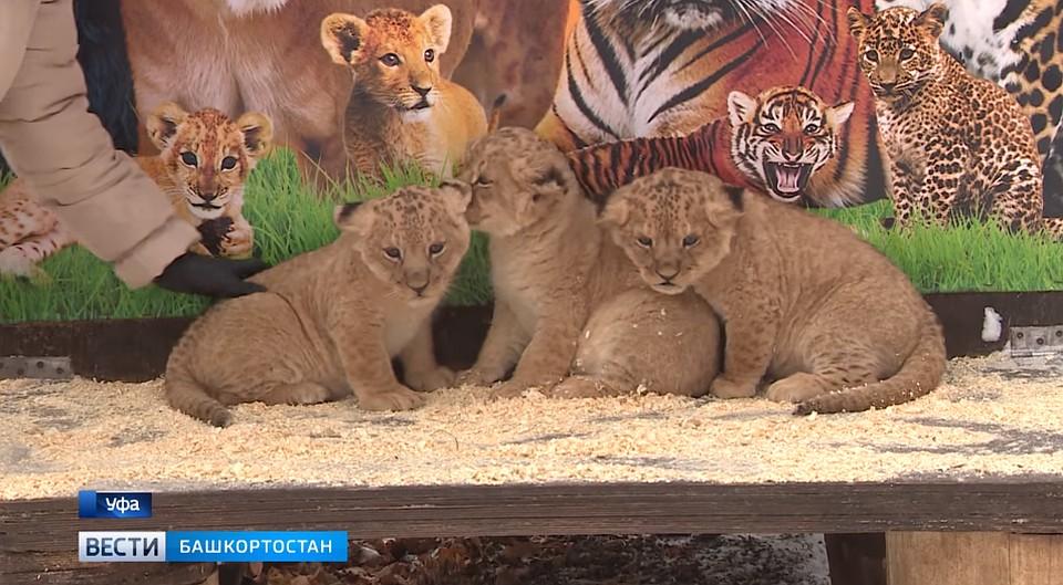 В уфимском зоопарке родились львята Атос, Портос и Арамис 2fb7443b9f8
