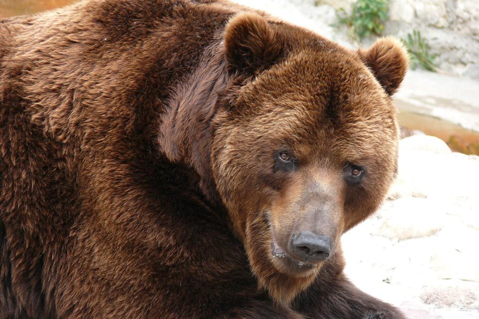 Медведь разорвал хозяина в Челябинской области. Фото: Алексей СТЕФАНОВ
