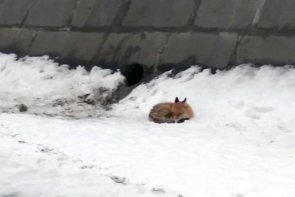 Лису, найденную на льдине на Москве-реке, поймали спасатели.