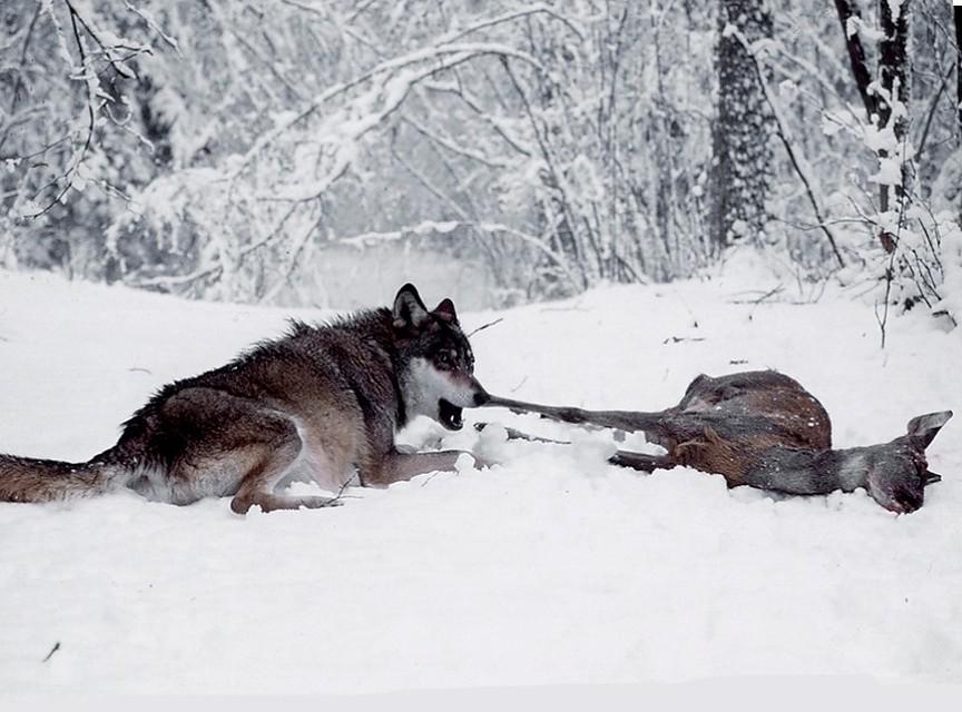 В Донецкой области начали охоту на волков...