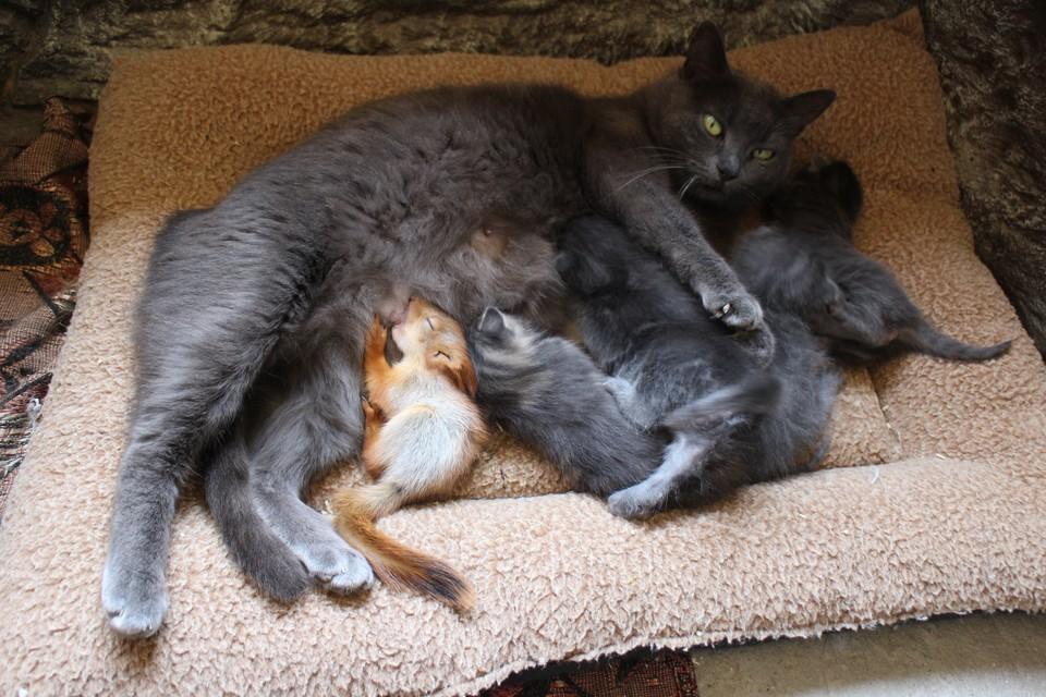 Для Мурки нет чужих детей - кормит своих котят и подкидышей