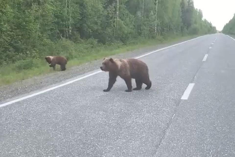 """Средь бела дня медведи вышли на трассу. Фото: кадр с записи опубликованной в группе """"Подслушано Североуральск 18+"""", vk.com"""