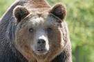 """""""Назовем его Винни и пропишем в Ноябрьске"""": горожане решили приютить зачастившего к ним медведя"""