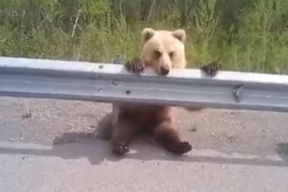 Притомился: в Бурятии медвежонок повис на дорожном ограждении, чем повеселил автомобилистов. Фото: группа Типичный Улан-Удэ.