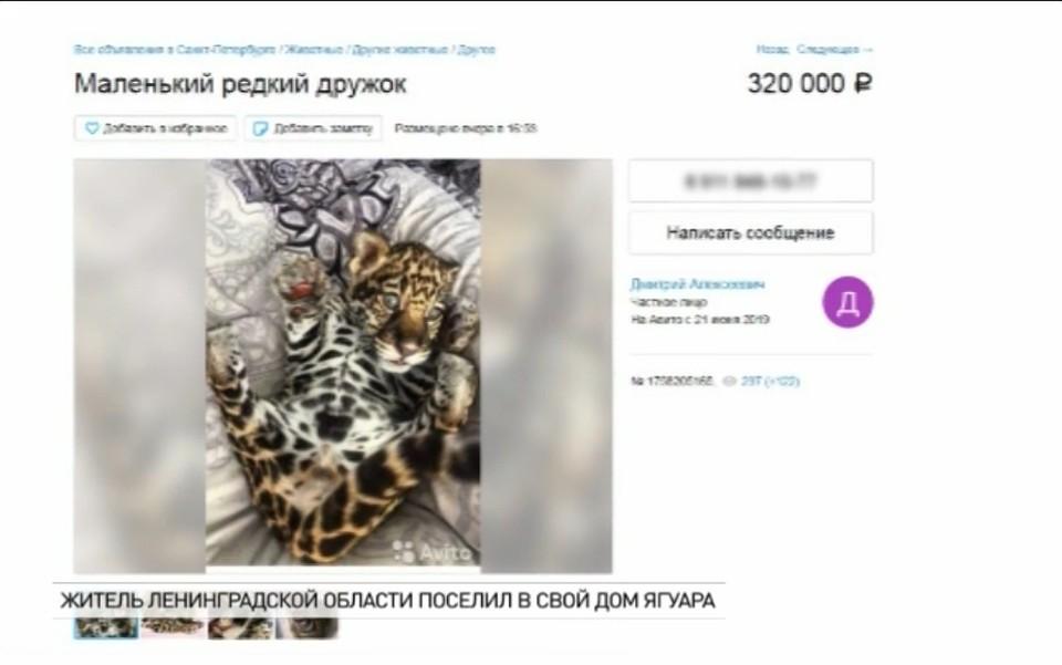 804c0fbd288b1 На «Авито» продавали детеныша ягуара, якобы родившегося в Калининградском  зоопарке
