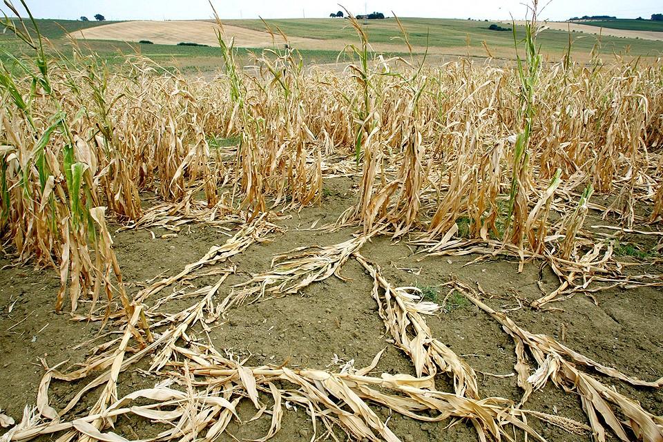Пострадавшие от рекордной засухи посевы кукурузы во Франции.