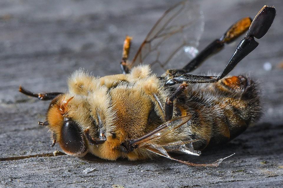 Массовую гибель пчел в России оценили в триллион рублей