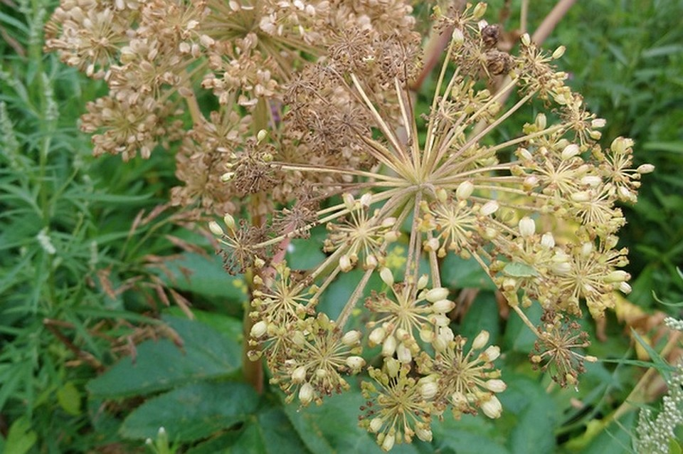 ядовитое растение зонтик