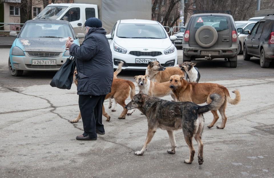 Одичавшие псы становятся похожими на волчьи стаи.