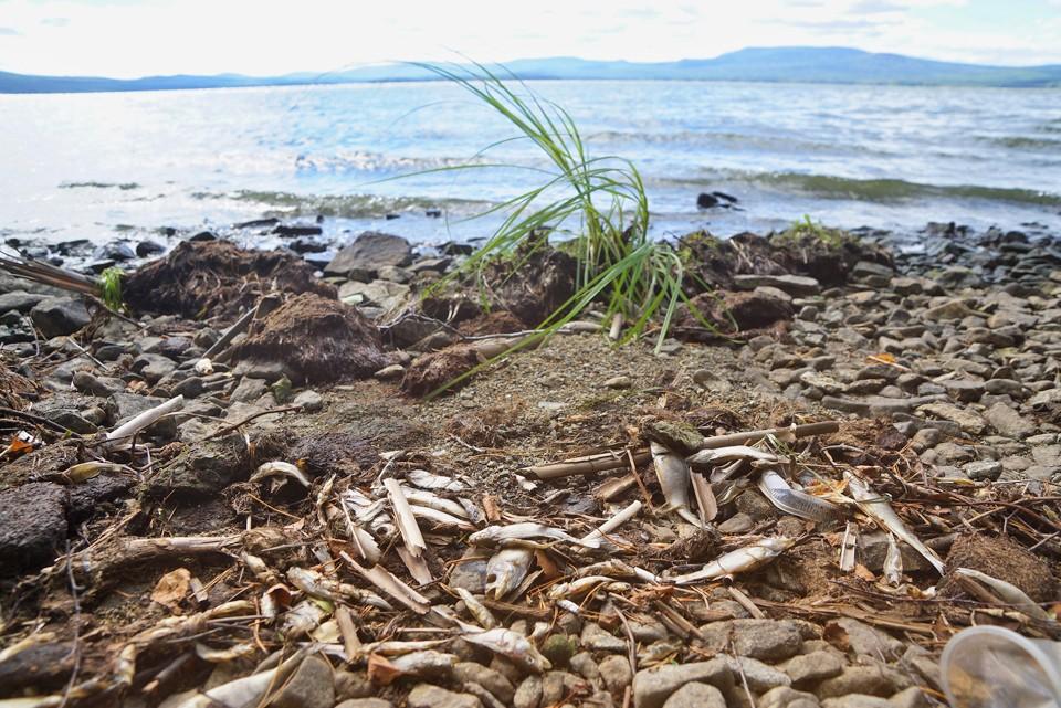 Этим летом проблема гибели рыбы на Волге попала в топ обсуждений в социальных сетях