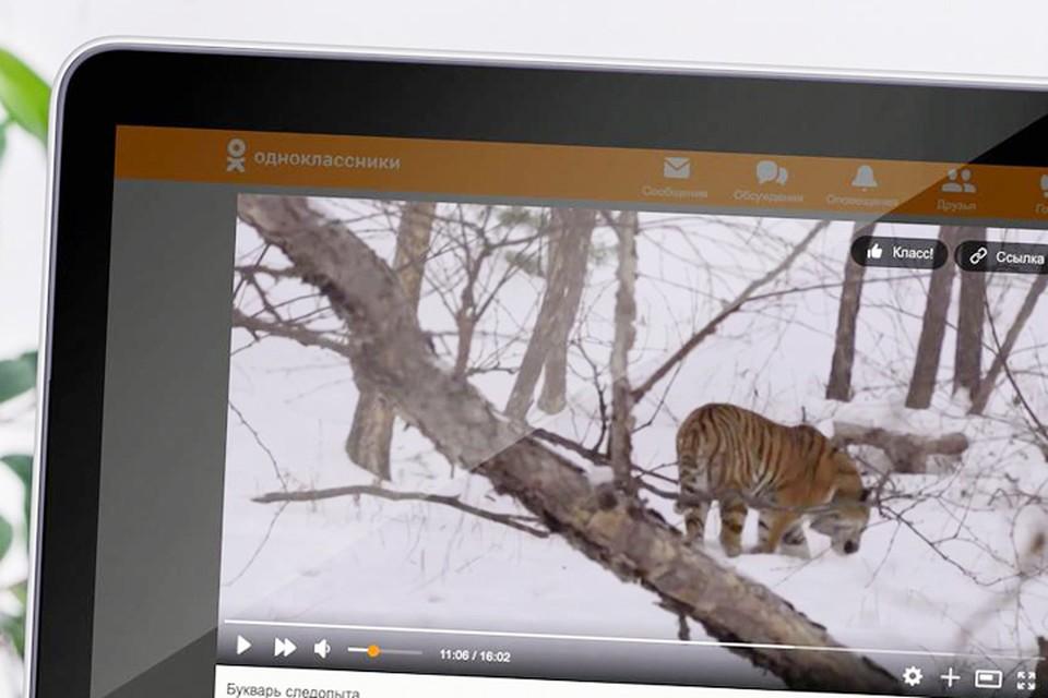 Ко Дню тигра WWF России загрузил в ОК новые видео, которые рассказывают о жизни амурского тигра в дикой природе