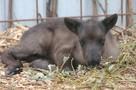 В желудке нашли куски резины: люди закормили маленького оленя до смерти в зоопарке Ижевска