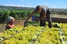 Новый закон о виноделии выдавит с нашего рынка «разливайки»
