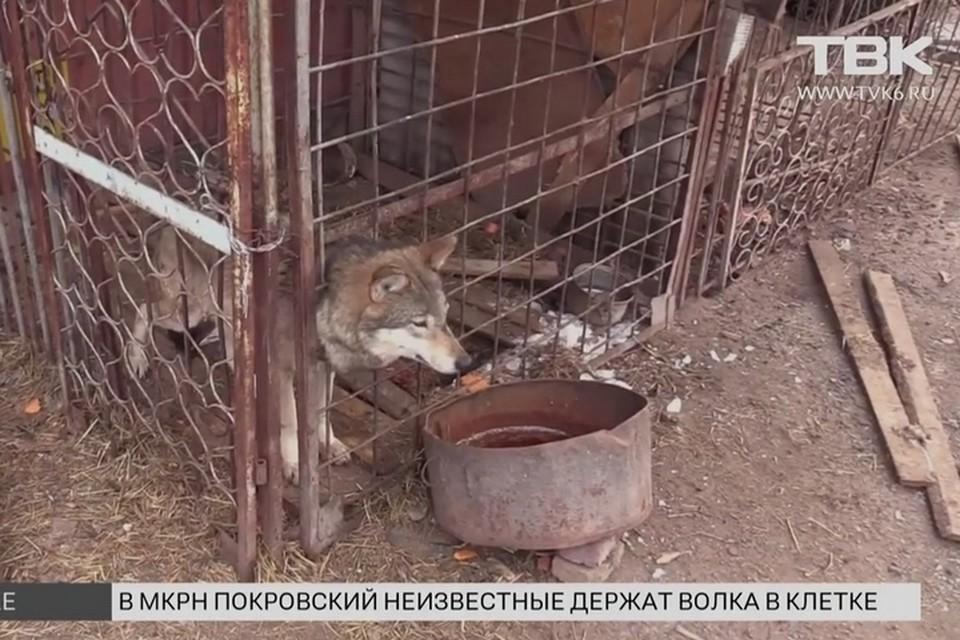В Красноярске в клетке обнаружили волка рядом с алабаями. Фото: ТВК Красноярск