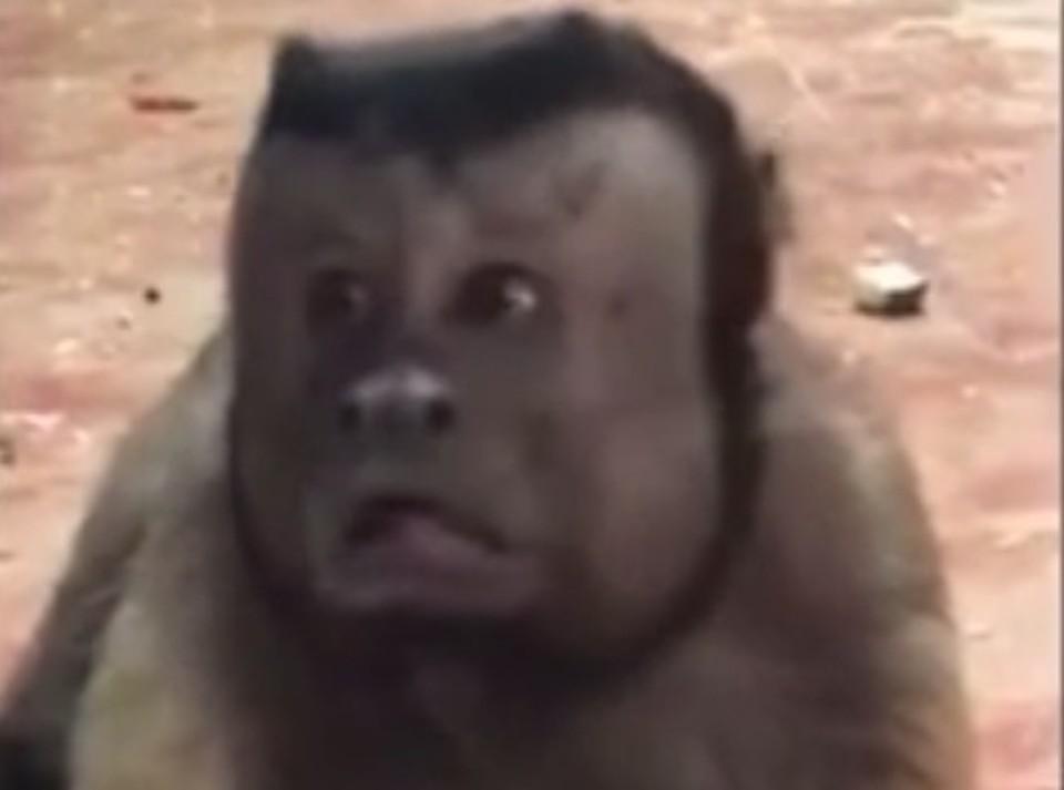 Примат - в расцвете сил, капуцины живут около 30 лет
