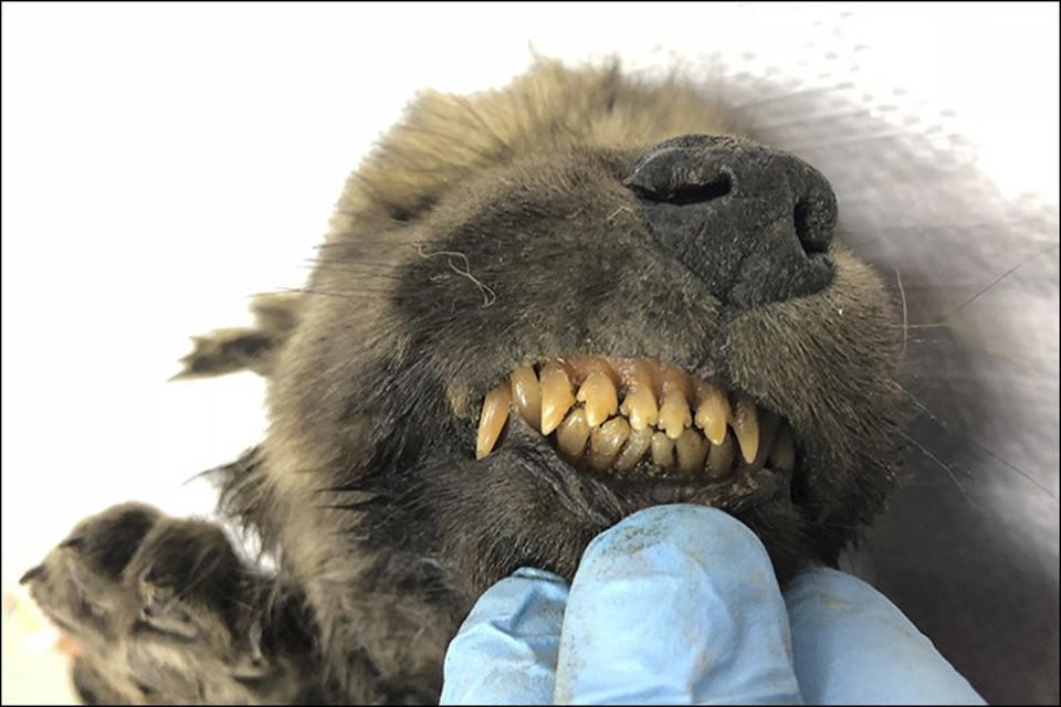 Молочные зубки щенка сохранились.