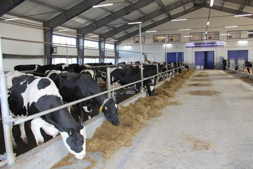 Для коров «Балтымского АгроКомплекса» созданы лучшие условия: теплые полы, чистая вода и индивидуальный рацион
