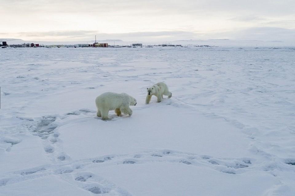 60 зверей находятся всего в двух километрах от села. Фото: Максим Деминов / WWF России