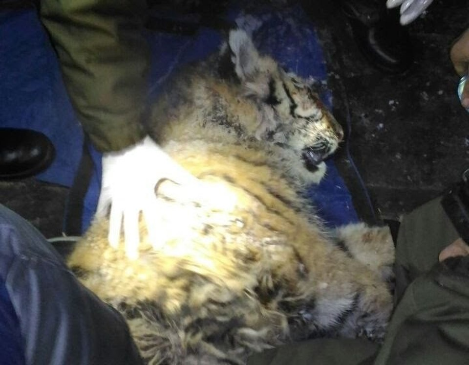 Популяция тигров сокращается из-за браконьеров