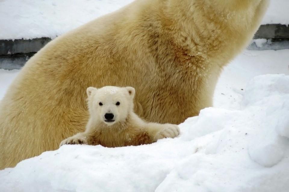 Пополнение: в якутском зоопарке «Орто Дойду» родился белый медвежонок