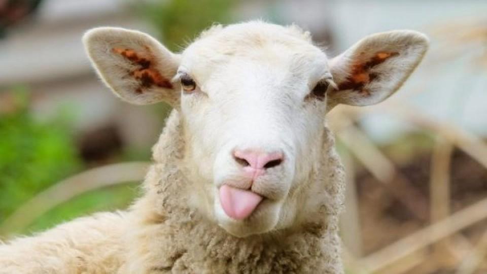Блудные овцы: молдавским пограничникам пришлось искать 180 гагаузских овец