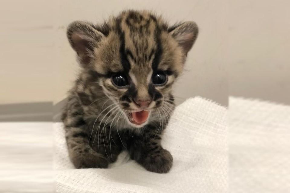 Котенок чувствует себя отлично. Фото: новосибирский зоопарк/ В. Габов.