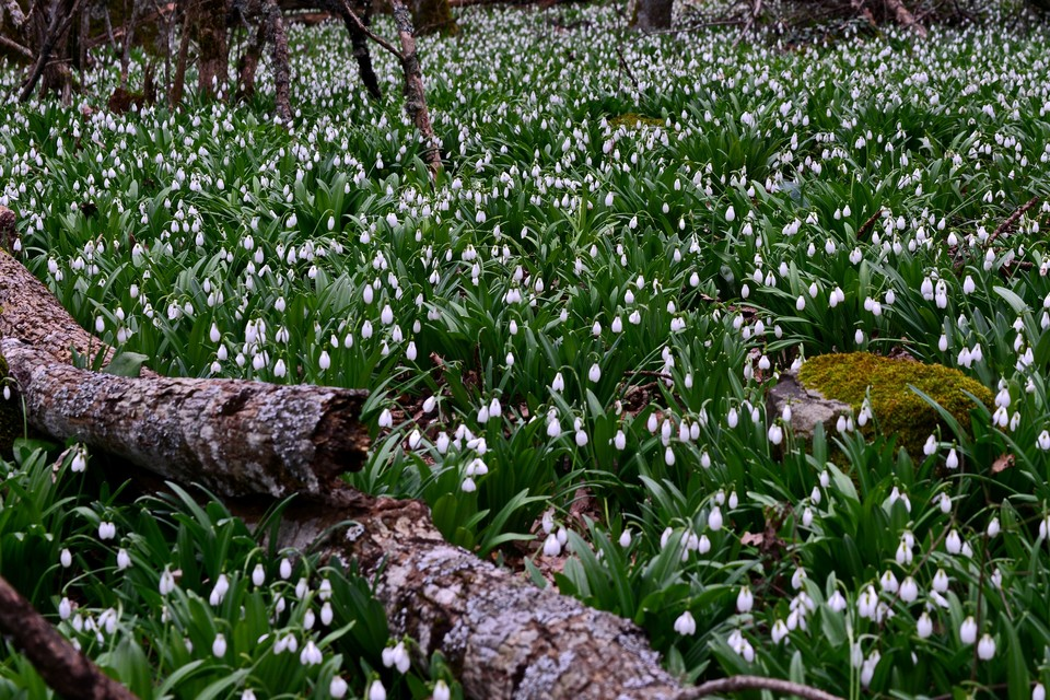 Сезон подснежников в Крыму начинается уже в январе
