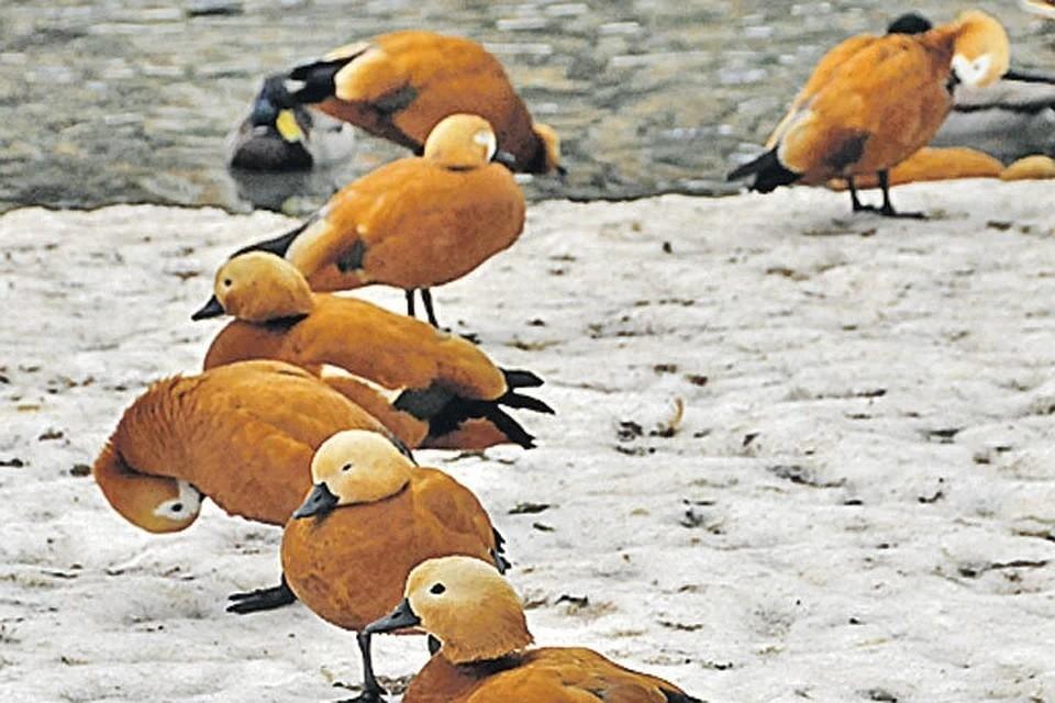Перелетные птицы могут вернуться домой на неделю раньше привычного срока