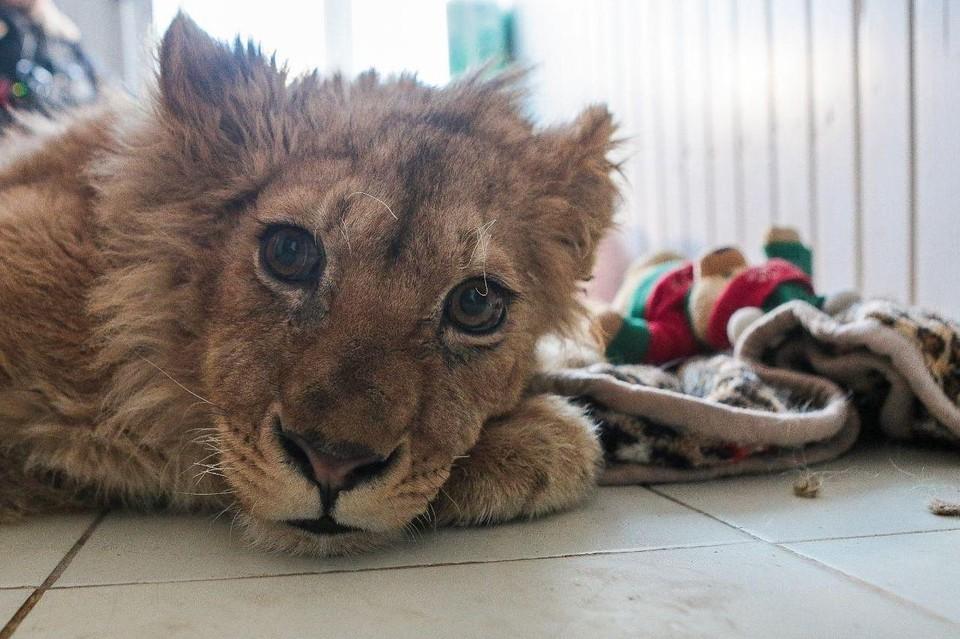 Пройдя через круги ада, львенок по-прежнему доверчиво относится к людям.
