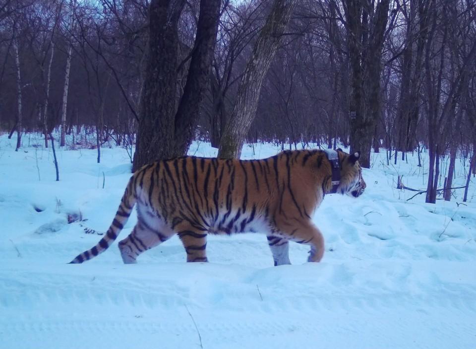 "Тигрица из лазовского заповедника. Фото: сайт Центра ""Амурский тигр"""
