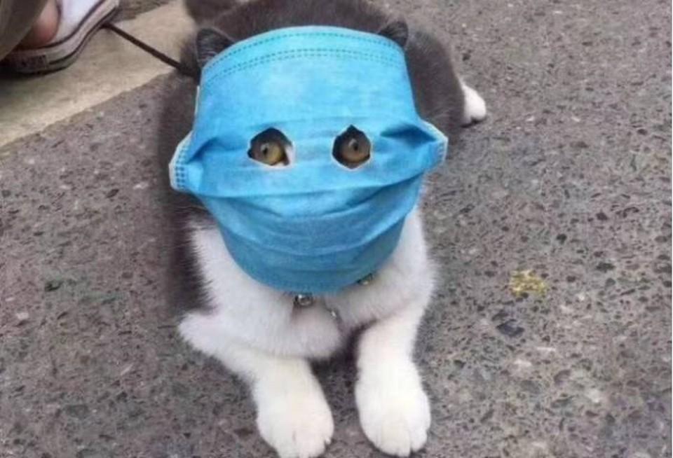 Кот в маске стал очень популярным. Но ветеринары уверяют: маски котам не нравятся. Да и бесполезны они им.