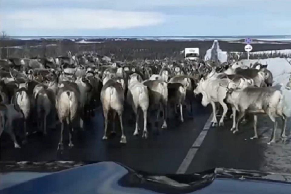 «Ямальская весна»: глава Приуральского района попал в пробку из оленей. Скрин с видео