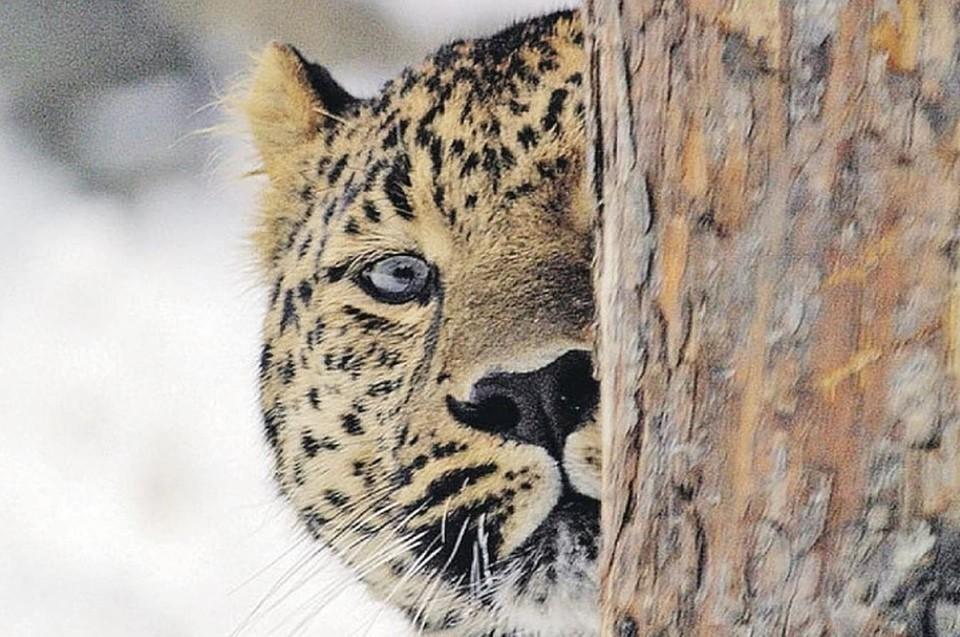 Дальневосточный леопард считается самой крупной кошкой на планете. Фото: архив «КП»