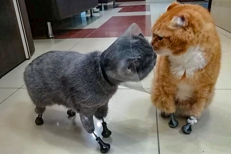 Кота Рыжего от укусов спасает только воротник. Фото: предоставлено Ниной ПОЛОСУХИНОЙ.