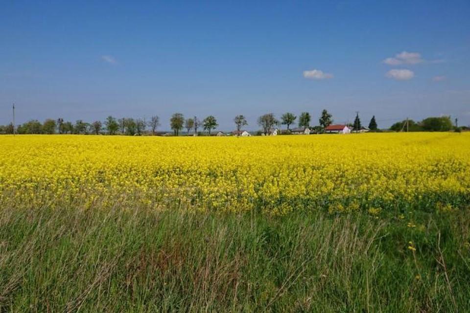 Рапсовое поле в окрестностях поселка Добрино.