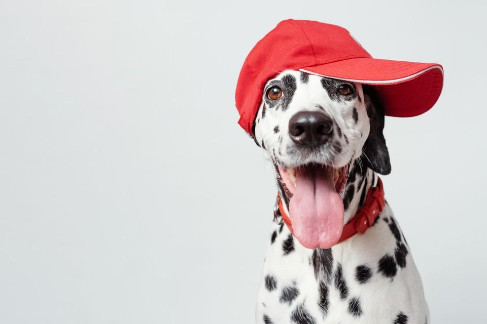 Если ваша собака не хочет выполнять команду «сидеть», возможно у нее просто подростковый протест. Или она влюбилась