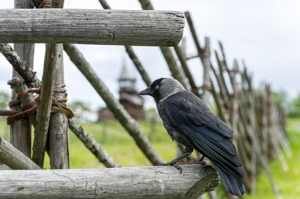 В Латвии ворона помогла медлительному ежику перейти через дорогу