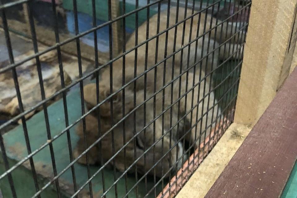 В прошлом году в зоопарке держали львенка. Фото: Арина Пак