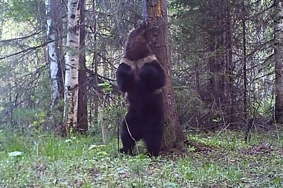 Медведя зовут Ферапонтом. Фото: Висимский заповедник, visimskiy.ru