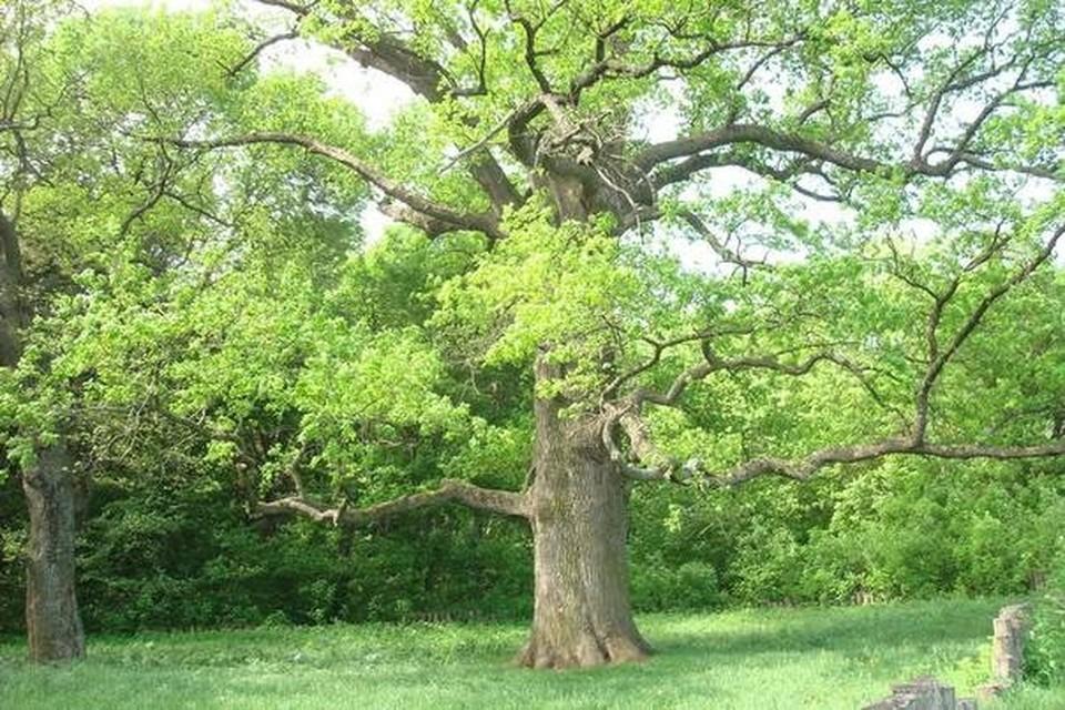 Шебекинский дуб всем дубам дуб! Фото пресс-службы администрации Шебекинского городского округа
