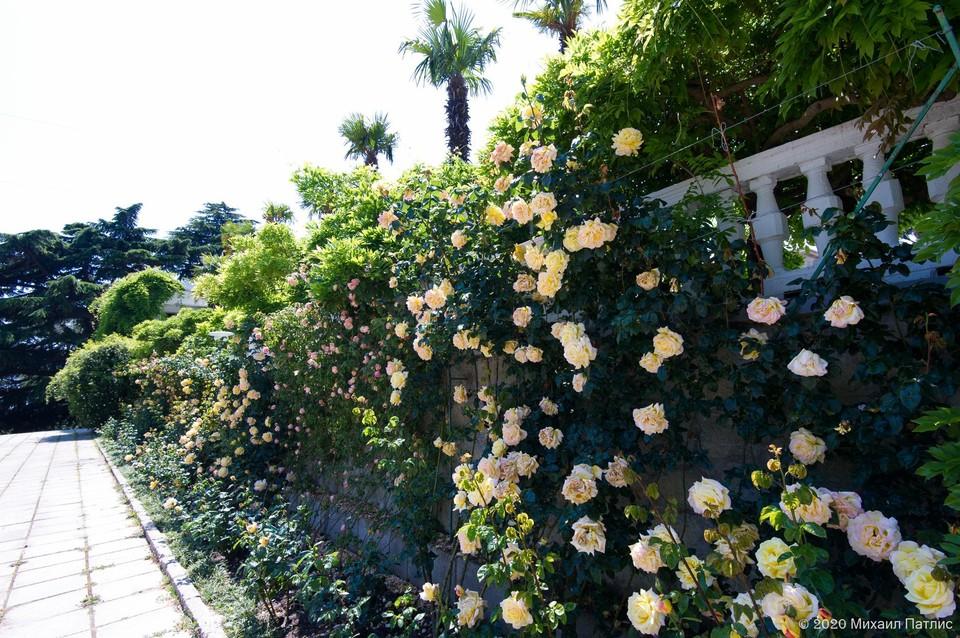 На ЮБК цветут замечательные розы.