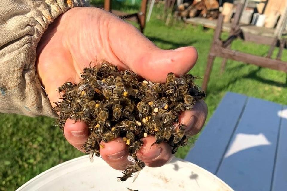 В Новосибирской области снова начался пчелиный мор. Фото: Предоставлено героем публикации