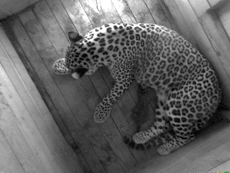 «Прихорошенький»: котенка леопарда, который недавно родился в Сочи, сняли на видео. Фото: пресс-служба Сочинского национального парка.