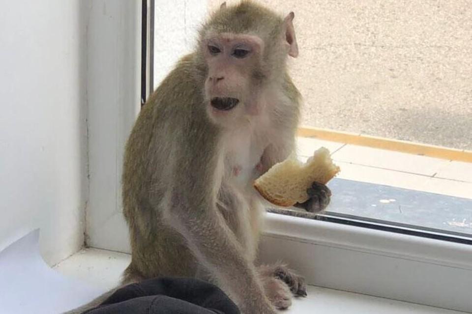 Не исключено, что обезьяна сбежала от одного из пляжных фотографов. Фото: gelpriboy.ru