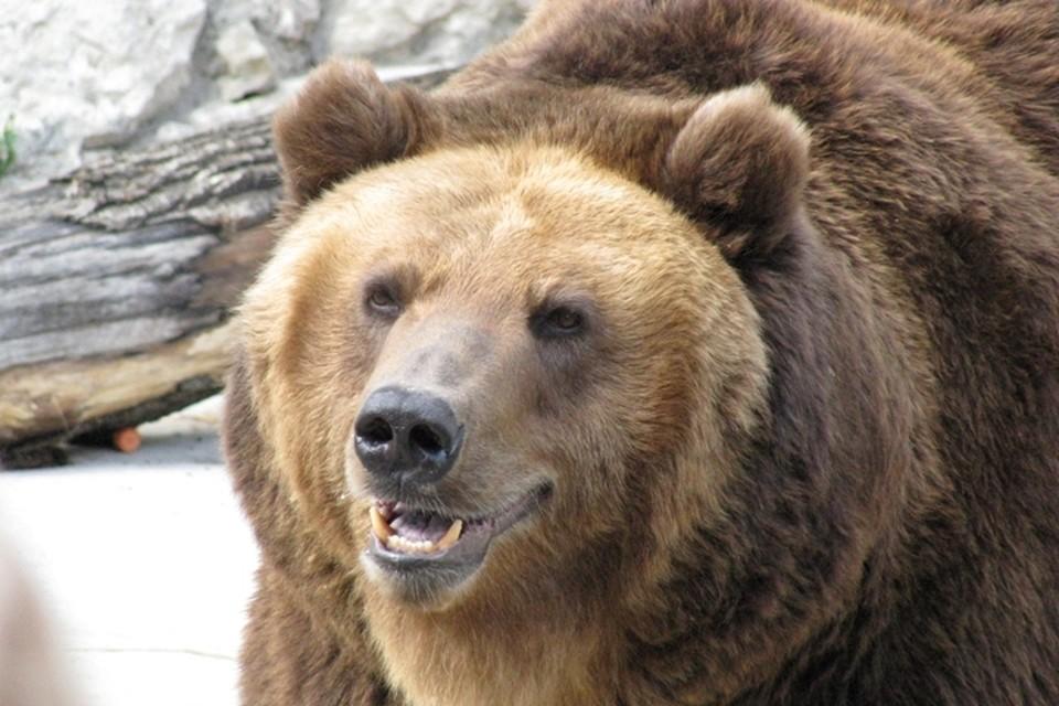 Медведи напали на скот в двух районах Кузбасса
