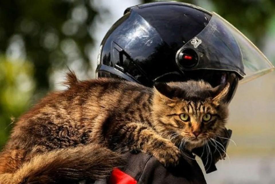 Сибирского кота-байкера скоро поставят на сноуборд.
