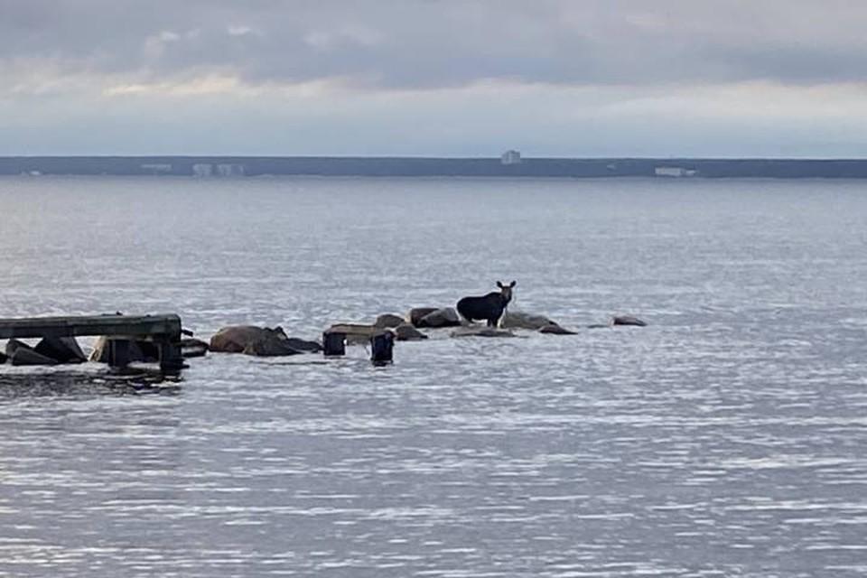 Истощенного лося спасли из Финского залива в Петербурге / Фото: Комитет по природопользованию